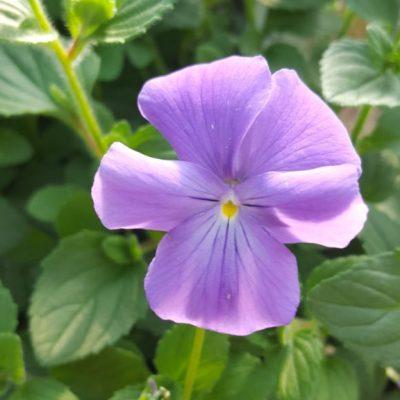Viola cornuta 'Eastgrove Blue'