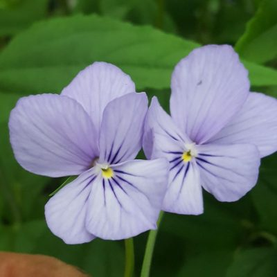Viola cornuta 'Kitten'
