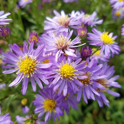 Aster laevis 'Cally Compact'