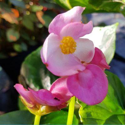 Begonia ravenii