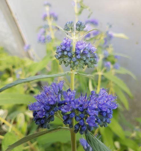 Caryopteris clandonensis 'Empire Blue'