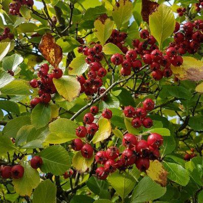 Crataegur prunifolia