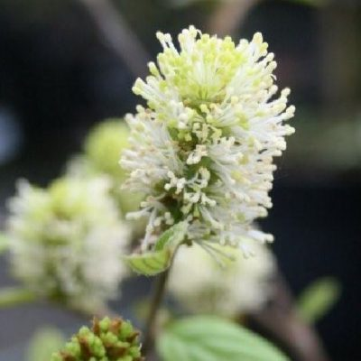 Fothergilla intermedia 'Blue Shadow'