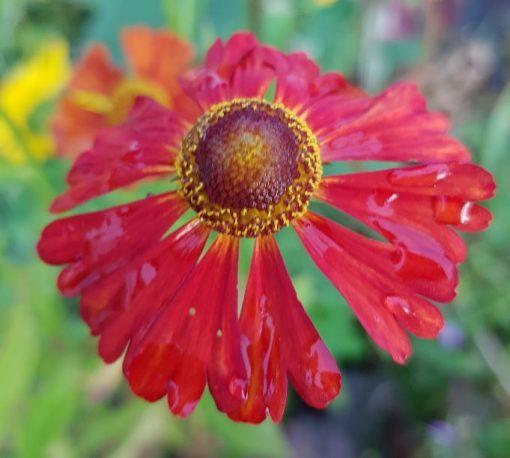 Helenium autumnale 'Dunkel Pracht'