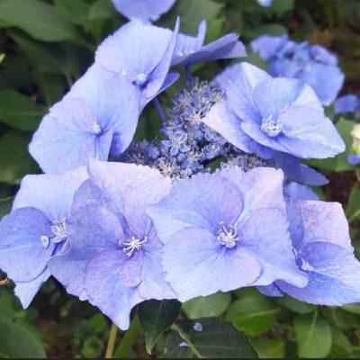 Hydrangea macrophylla 'Blue Sky'