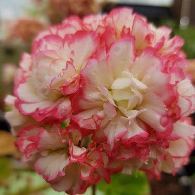Pelargonium (Geranium) zonal 'Appleblossom'