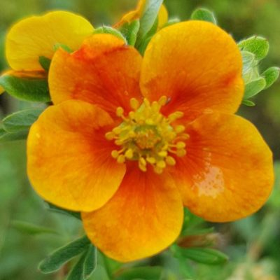 Potentilla 'Hopleys Orange' AGM