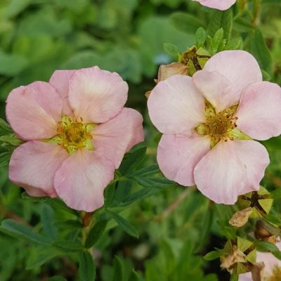 Potentilla 'Pink Beauty'
