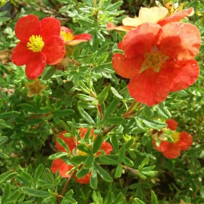 Potentilla 'Red Robin'