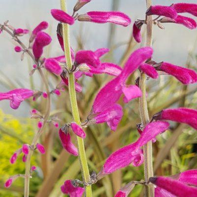 Salvia curviflora 'Tubular Bells'