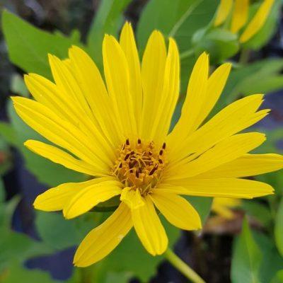 Silphium perfoliata