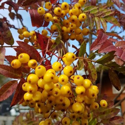 Sorbus aucuparia 'Joseph's Rock'