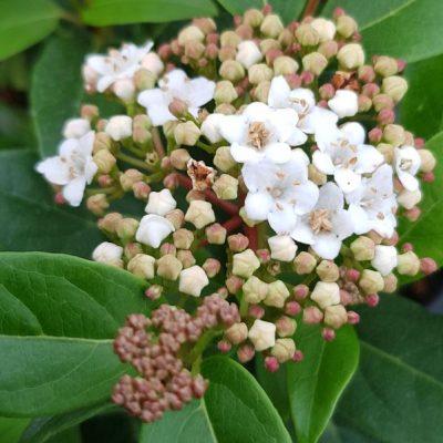 Viburnum tinus 'Spirit'