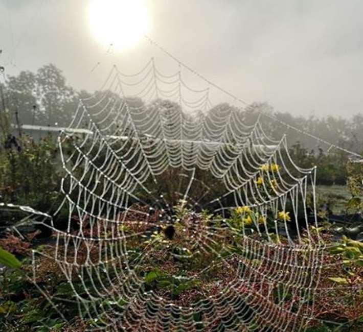 Stunning spiders web in the autumn light at Farmyard Nurseries