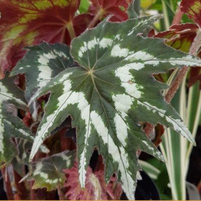 Begonia palmata 'Tie Dye'