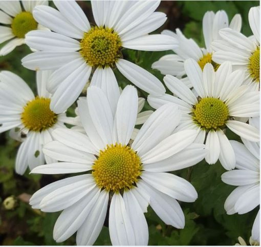 Chrysanthemum 'Breitners Supreme'