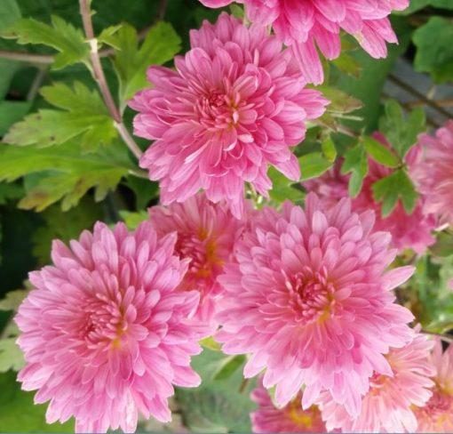 Chrysanthemum 'Schweizerland'