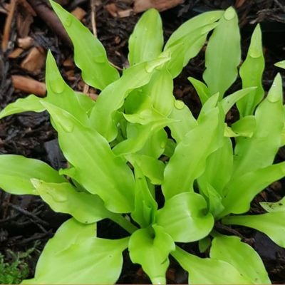 Hosta 'Dragon Tails'