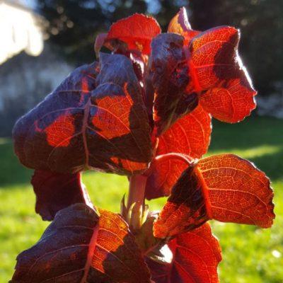 Hydrangea anomola ssp. anomola 'winter Glow'
