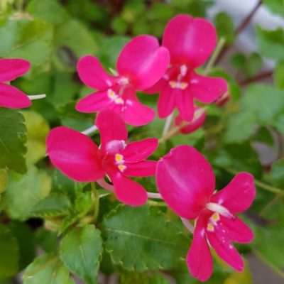 Impatiens kilimanjari x. psuedovida dark pink low growing form