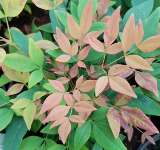 Nandina domestica 'Summer Sunset'
