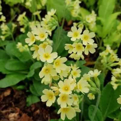 Primula Elatior