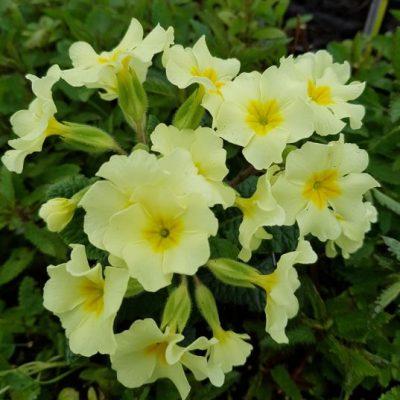 Primula vulgaris 'Moneygal'