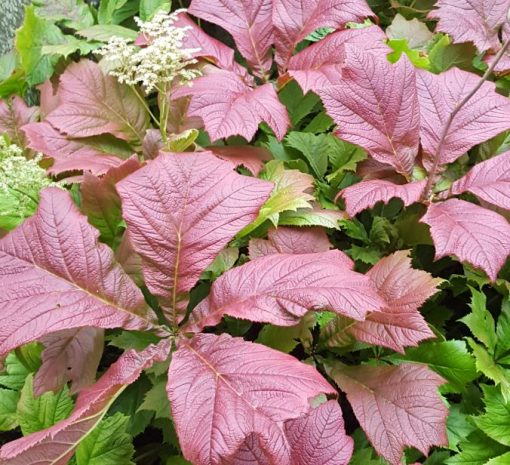 Rodgersia aesculifolia 'Irish Bronze'