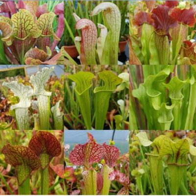 sarracenia multipic