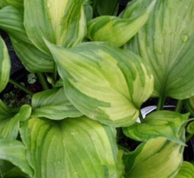 Hosta's for your shady garden