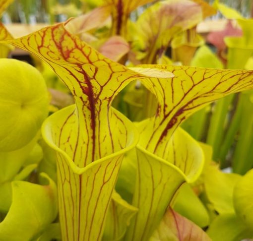 Sarracenia flava var. ornata Apalachecola Florida