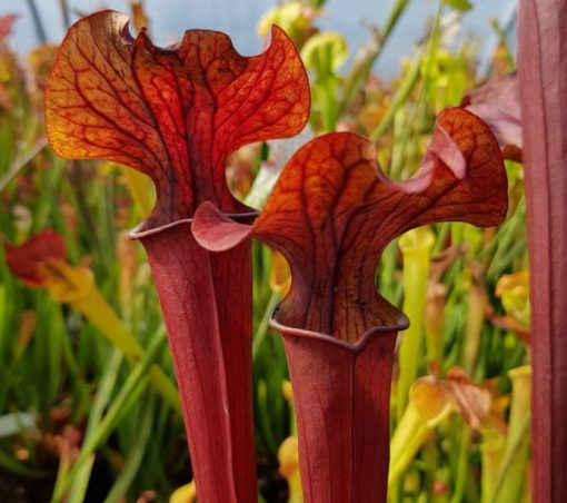 Sarracenia x alata red lipped form x flava