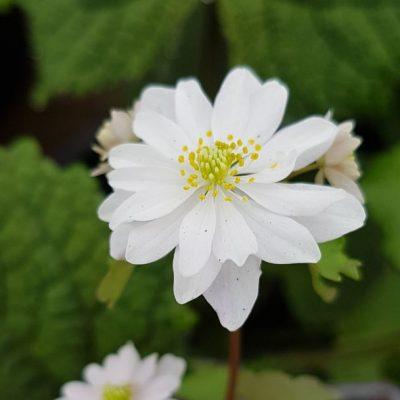 Anemonella thalictroides 'Kikuzaki White'