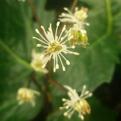 Coptis japonica v. major