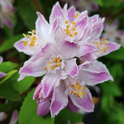 Deutzia 'Raspberry Sundae'
