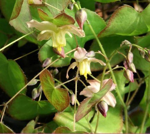 Epimedium versicolor 'Cupreum'