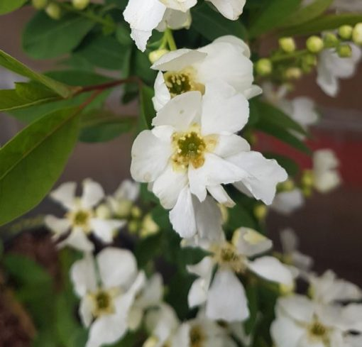 Exochorda 'Magical Springtime'