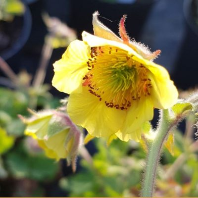 Geum 'Staceys Sunrise'