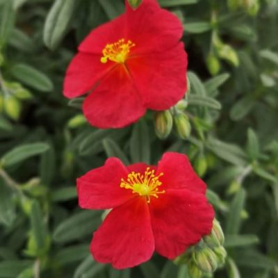 Helianthemum beech park red