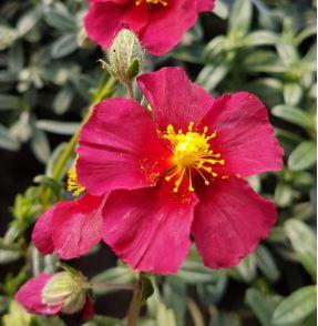 helianthemum hartswood ruby