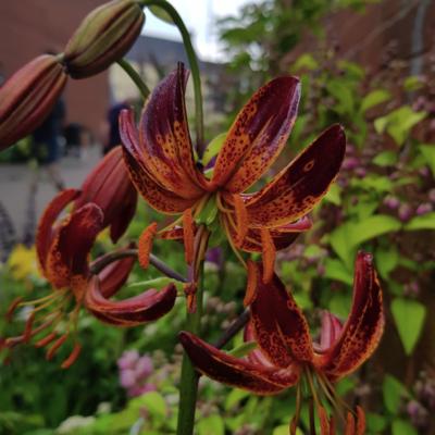 Lilium martagon 'Arabian Knight'