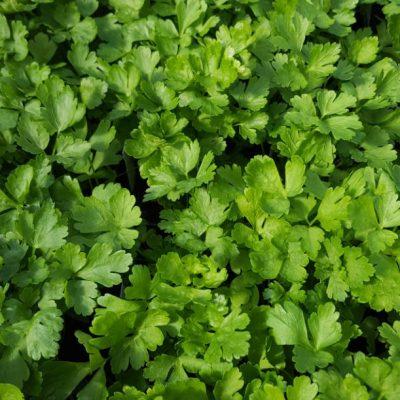 Herb Parsley Plain leaved