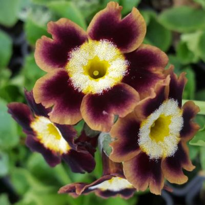 Primula auricula 'Big Thrill'