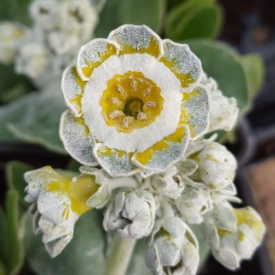 Primula auricula 'Coffee' (fancy)