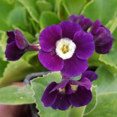 Primula auricula 'Lilac Domino'