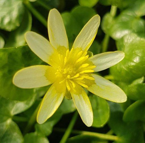 Ranunculus ficaria 'Coffee Cream'