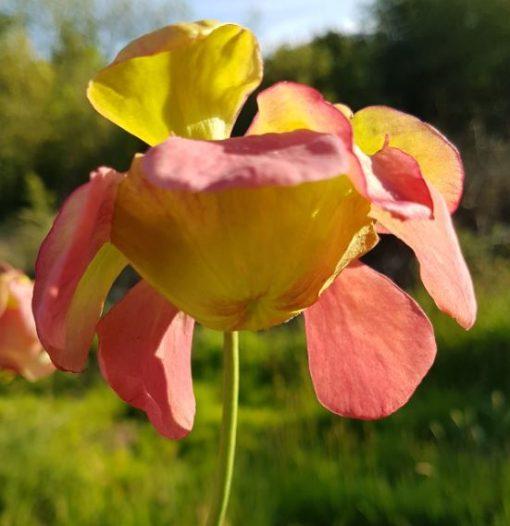pitcher plant alata x willisii