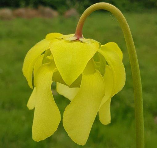 pitcher plant alata