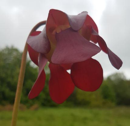 pitcher plant exornata
