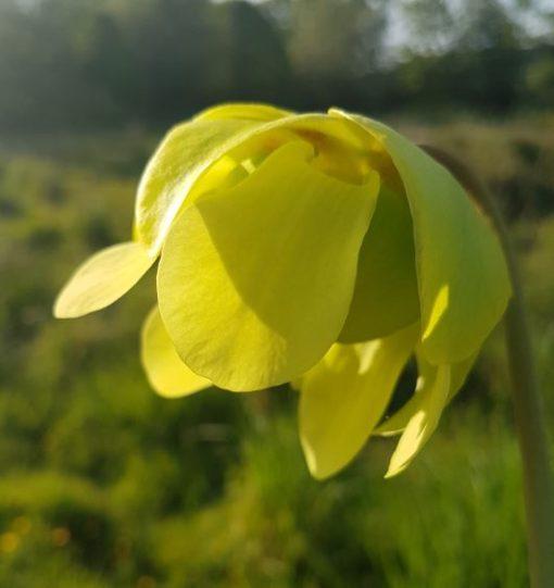 pitcher plant flower